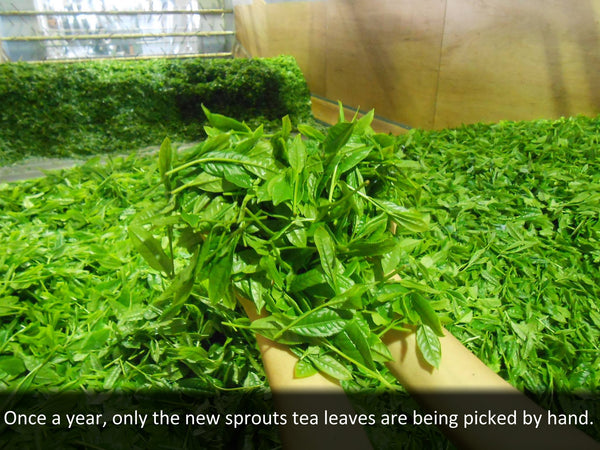 Once a year, only the new sprouts tea leaves are being picked by hand.