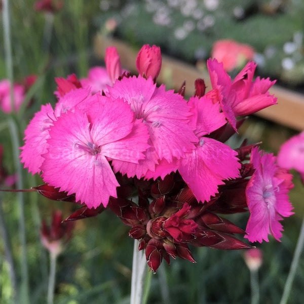 Species Dianthus Collection