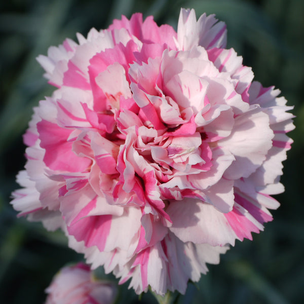 Dianthus plumarius 'Baileys Celebration' hardy scented plant. Garden ready.