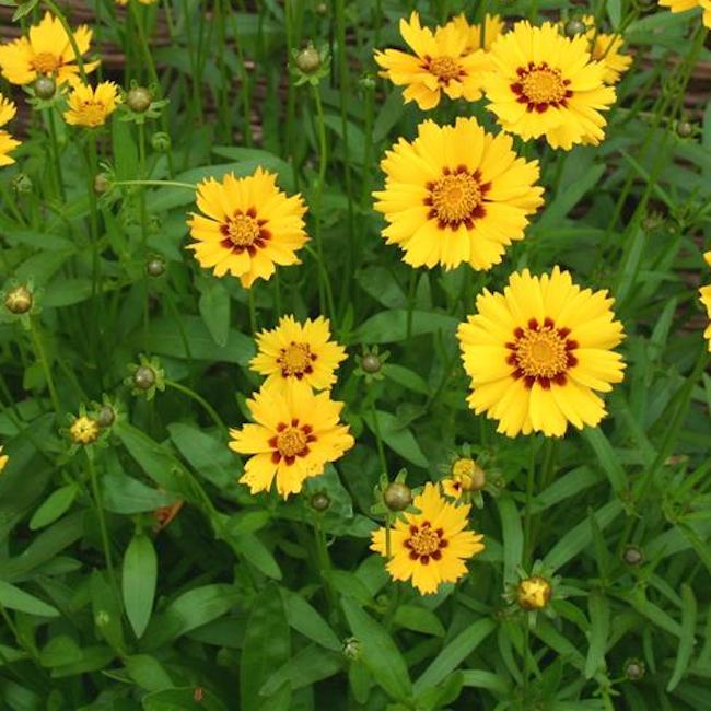 Coreopsis Sterntaler - Hardy Perennial Plant