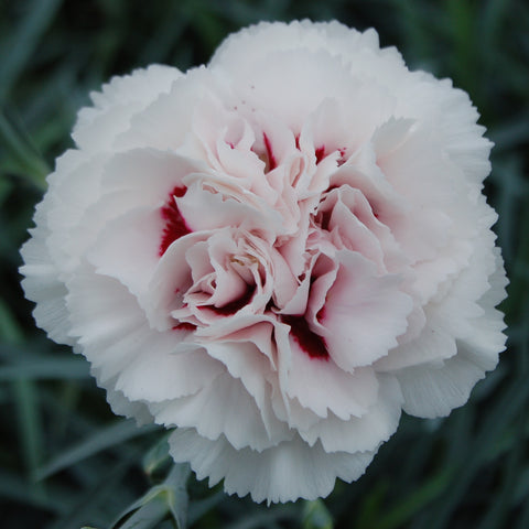 Dianthus plumarius 'Cranmere Pool' hardy scented plant. Garden ready.