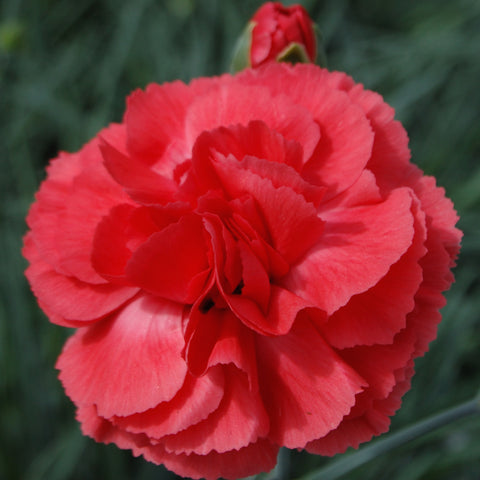 Dianthus plumarius 'Diane' hardy scented plant. Garden ready.