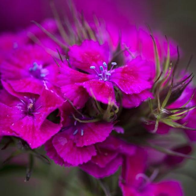 Dianthus barbatus 'Oeschberg' Sweet William