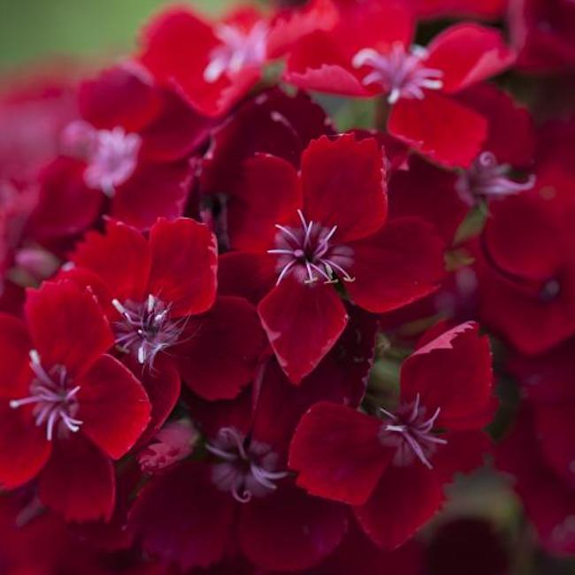Dianthus barbatus 'Scarlet Beauty' Sweet William