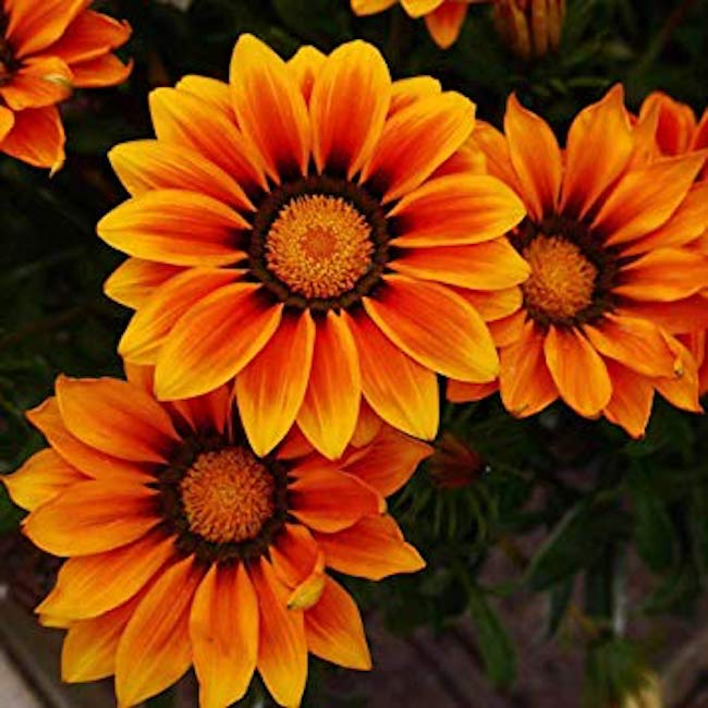 Gazania Kiss 'Orange Flame'