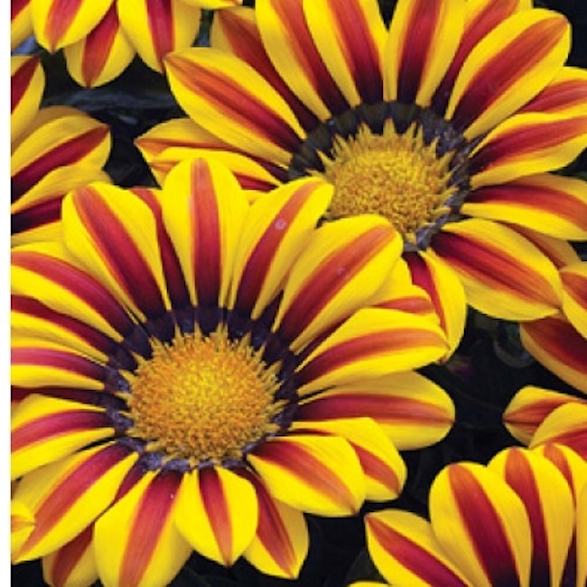 Gazania Kiss 'Yellow Flame'