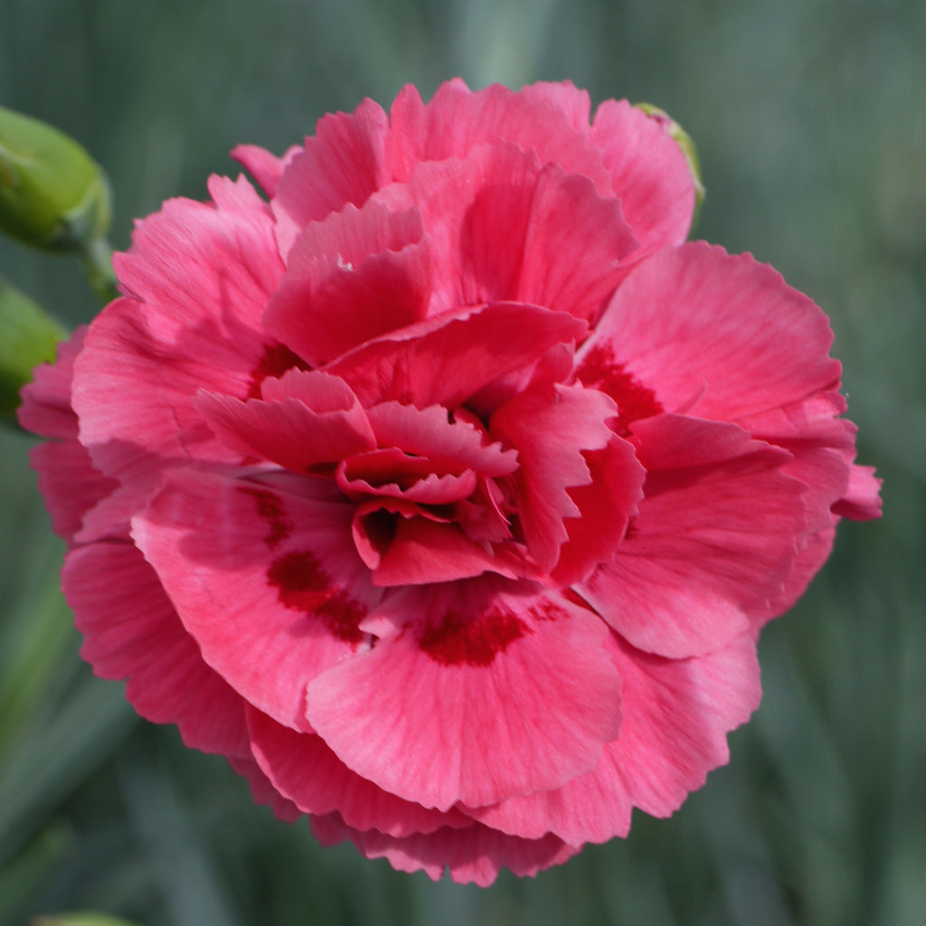 Dianthus plumarius 'Houndspool Ruby' hardy scented plant. Garden ready.
