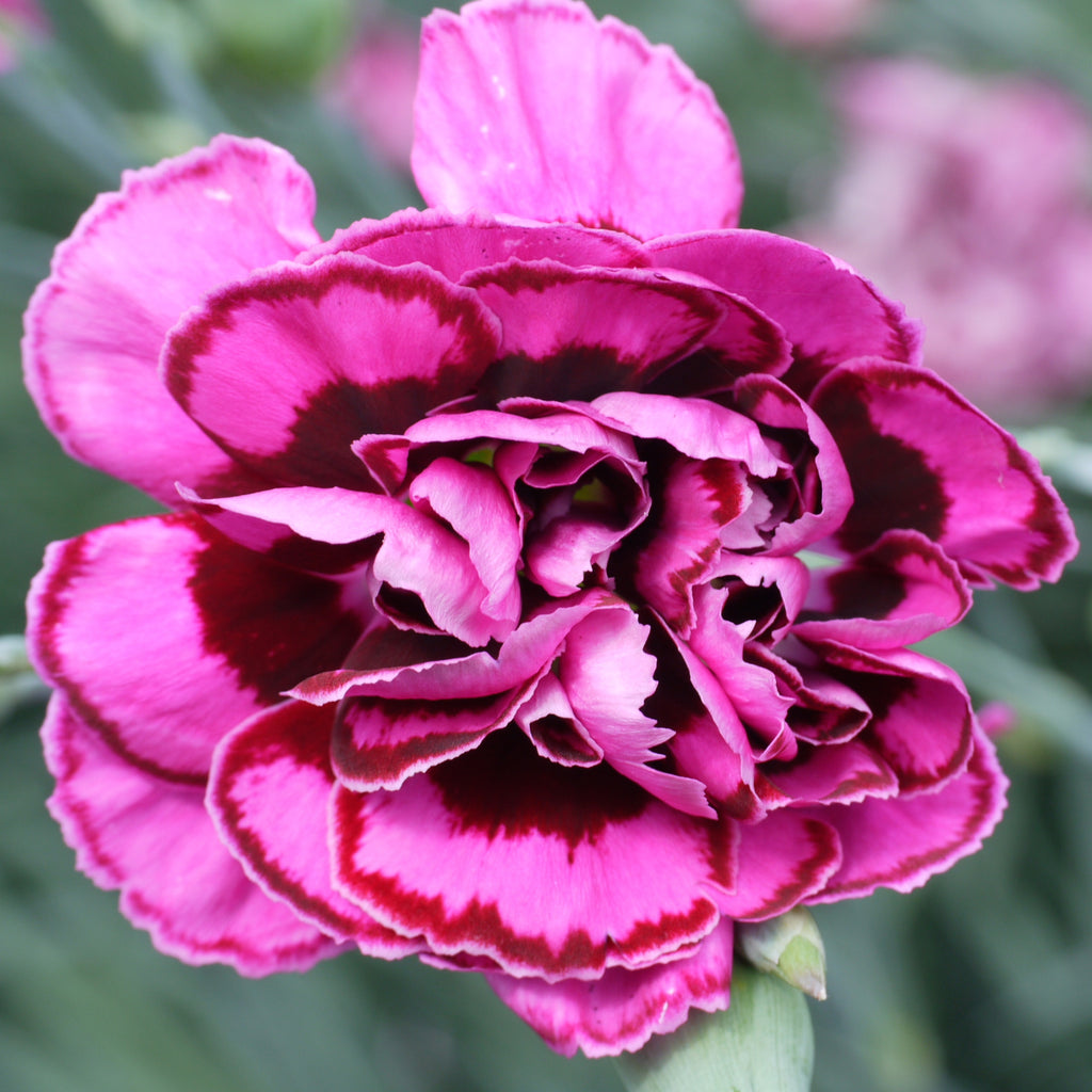 Dianthus Garden Pink 'Laced Monarch' hardy scented plant. Garden ready.