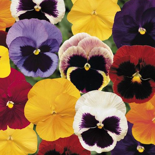 Pansy (Mixed Colours) x 5 Garden Ready Plants