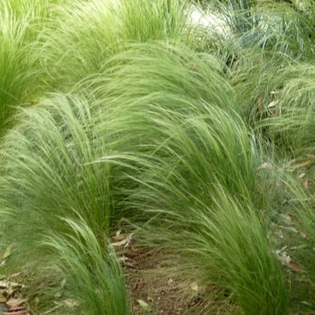 Carex comans 'Frosted Curls' ( New Zealand sedge grass)