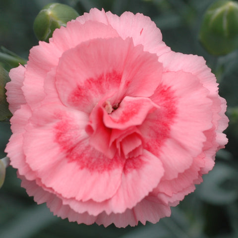 Dianthus 'Romance' Scented Garden Pink