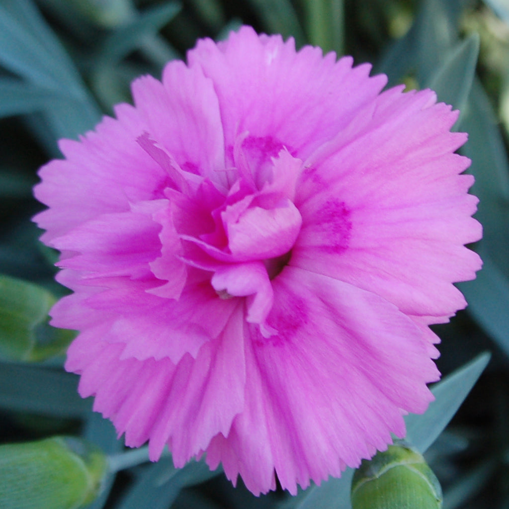 Dianthus Garden Pink 'Tickled Pink' hardy scented plant. Garden ready.