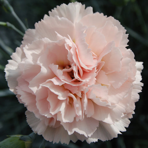 Dianthus 'Widecombe Fair' Scented Garden Pink