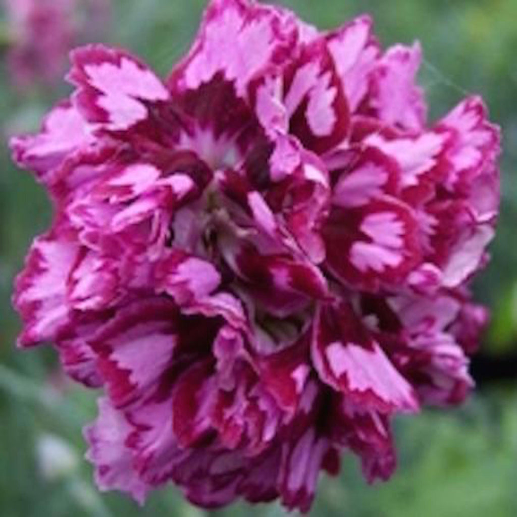 Dianthus plumarius 'Laced Mrs Sinkins' hardy scented plant. Garden ready.