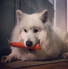 Tofu the Samoyed loves his veggies!
