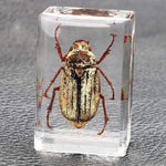 Embedded Insect Collection White Beatle