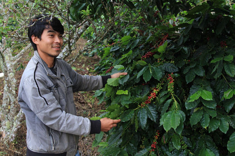 Ata with his coffee trees, showing ripe coffee cherries