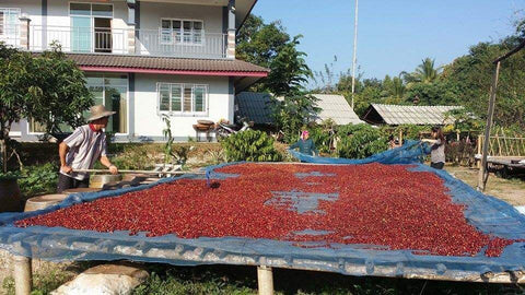 Natural process coffee drying on raised bed