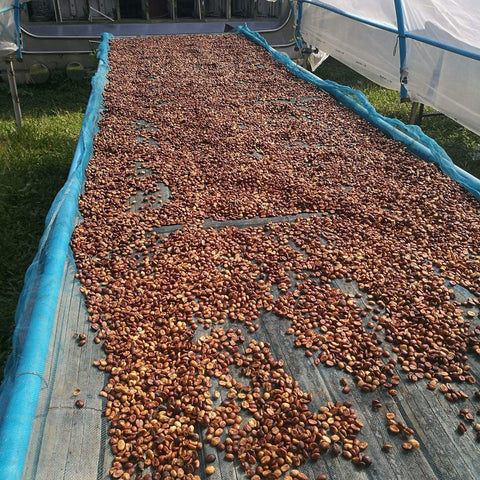 Honey processed coffee on raised bed after drying some time