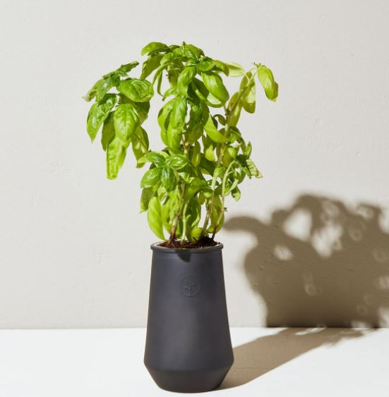 Tapered Tumbler - Basil