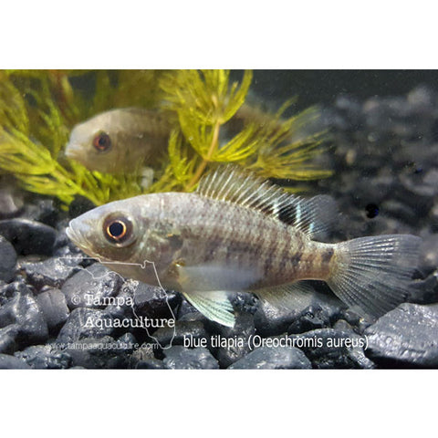 Blue Tilapia Fingerlings 3/4-1 inch - Tampa Aquaculture Inc.