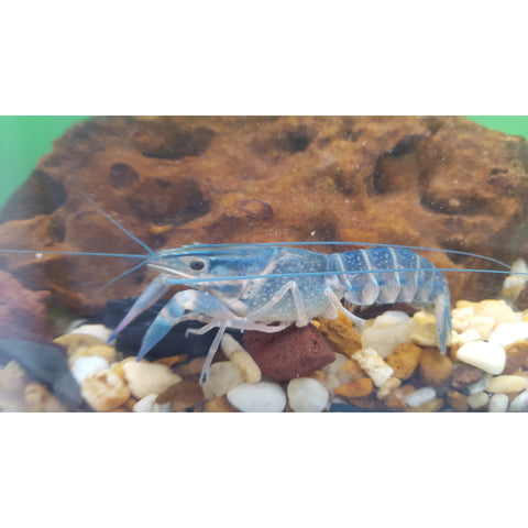 Australian Blue Red Claw Crayfish - Tampa Aquaculture Inc.