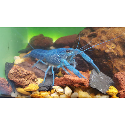 Electric Blue Crayfish - Tampa Aquaculture Inc.