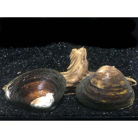 Freshwater Filtering Clams - Tampa Aquaculture Inc.