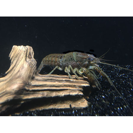 Florida Crayfish Pairs - Tampa Aquaculture Inc.