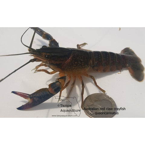 Australian red claw crayfish Juveniles Pair - Tampa Aquaculture Inc.