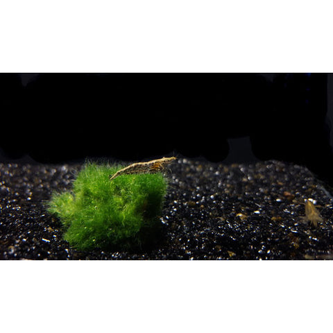 Wild Type Cherry Shrimp - Tampa Aquaculture Inc.