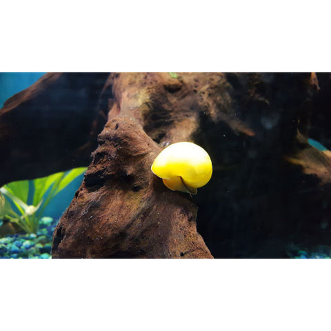 Gold Mystery Snails - Tampa Aquaculture Inc.