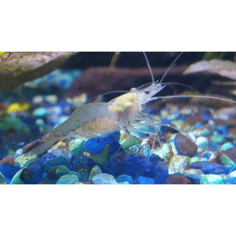 Indian Whisker Shrimp
