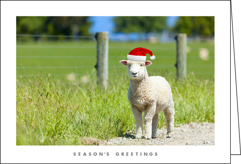 NZ902 Sheep