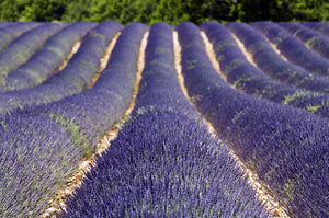 Ingredient Highlight <br> Population Lavender Essential Oil