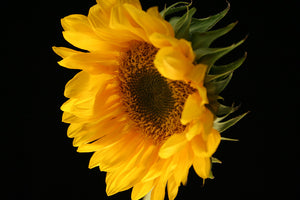 Ingredient Highlight <br>Sunflower Oil