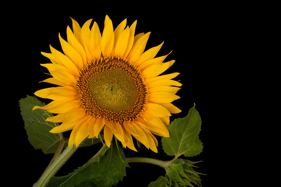 Sunflower Oil Benefits skin hair nails