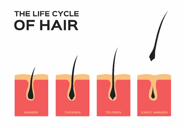 the life cycle of your hair