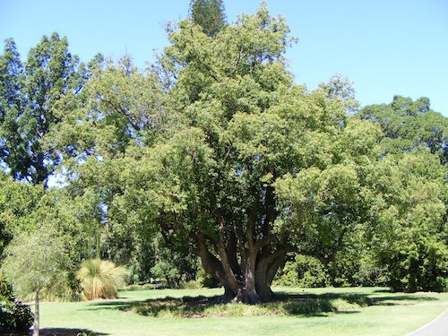 the common camphor tree