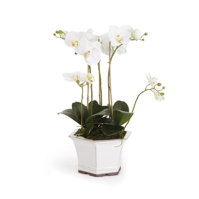 "BB Phalaenopsis 18.5"" in Ceramic Pot"