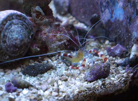 Yellow Banded Coral Shrimp