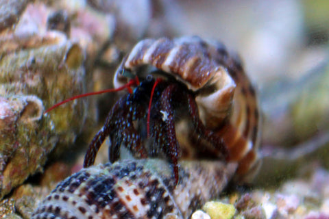Mexican Red Tipped Hermit Crab