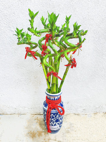 Lucky Bamboo – Curly Chinese New Year 2020