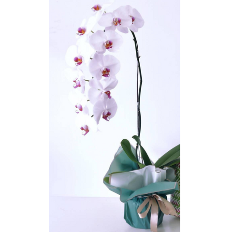 Grade A+ White Red Lips Phalaenopsis plant in pot with wrapper (10 - 12 flowers)