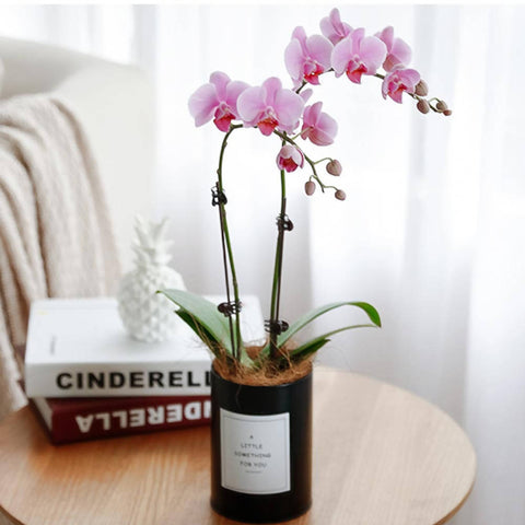 Pink Potted Orchid