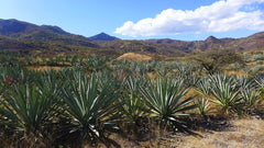 The Healing Properties of Agave