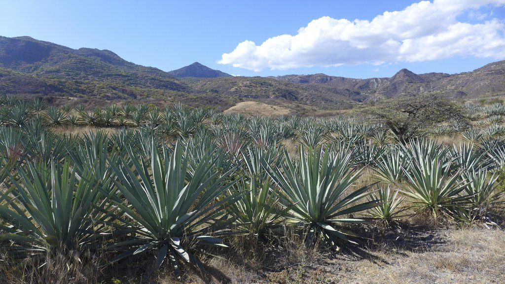 We Make Our Own Mezcal; Here's How
