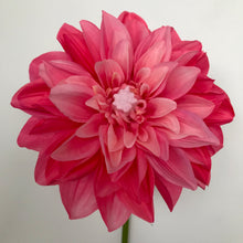 Load image into Gallery viewer, LED Pink Dahlia
