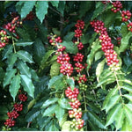 Navarro Farms 100% Ka'u Coffee