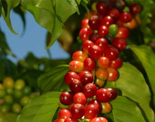 100% Kona Coffee | Dr. Paulo's Kona Coffee and Macnut Farm